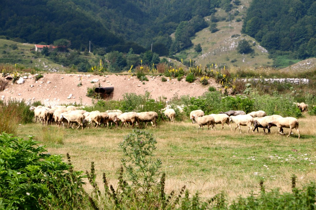 Sheep in the Italian Hills 2