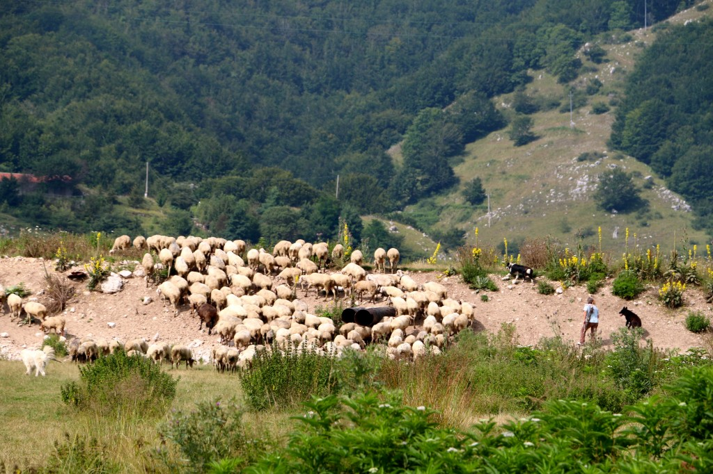 Sheep in the Italian Hills 5