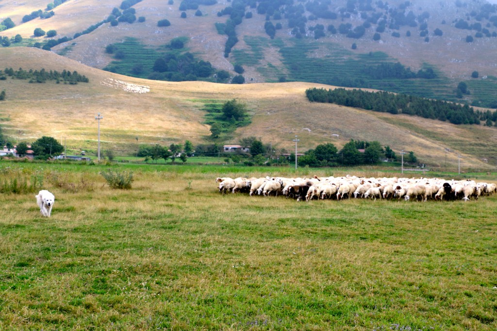 Sheep in the Italian Hills 8