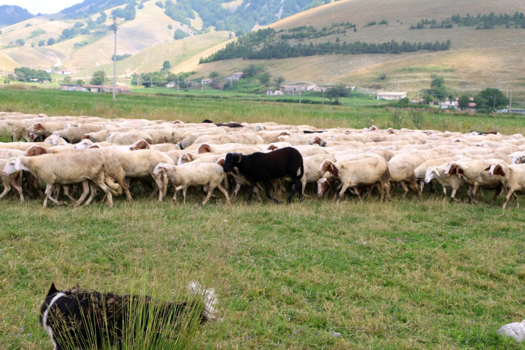 Sheep in the Italian Hills 10