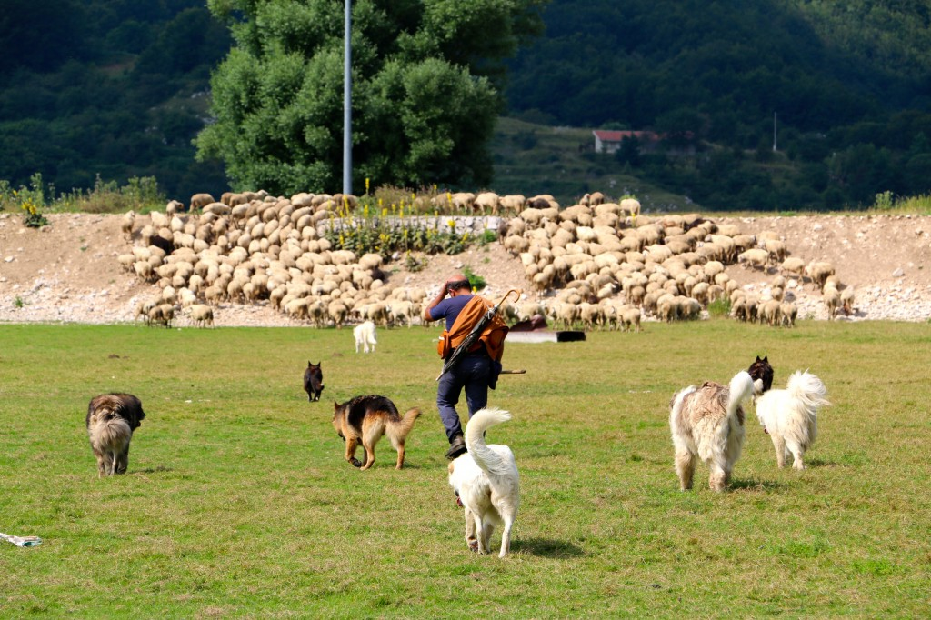 Sheep in the Italian Hills 11
