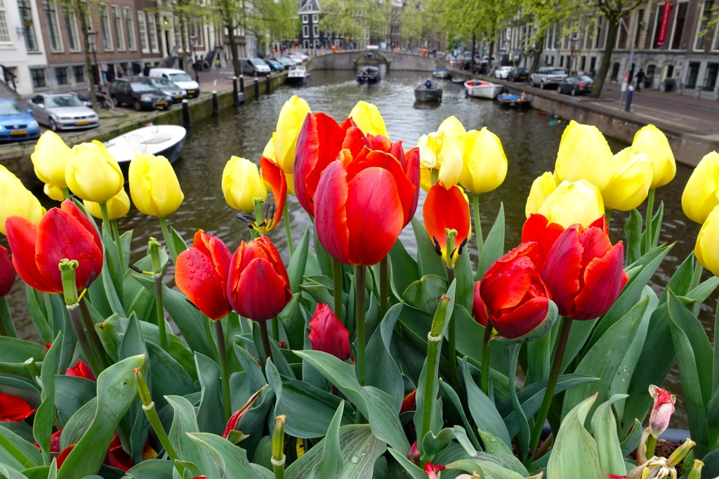 Tulips in Amsterdam, Holland