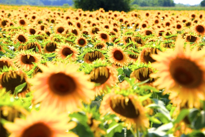 Sunflower Fields Northern Italy 3